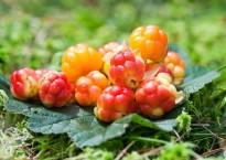 Морошка – полезные свойства и противопоказания царской ягоды