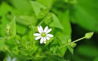 Полезные свойства травы мокрицы, противопоказания и народные рецепты