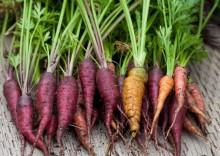 Полезные свойства фиолетовой моркови