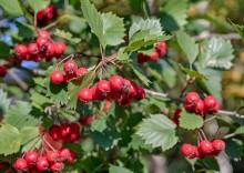 Боярышник – полезные свойства и противопоказания плодов, листьев и цветов кардиотоника