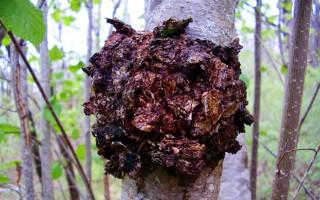 Полезные свойства чаги и противопоказания: лечимся березовым грибом