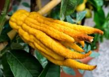 Рука Будды – полезные свойства и противопоказания пальчатого цитрона