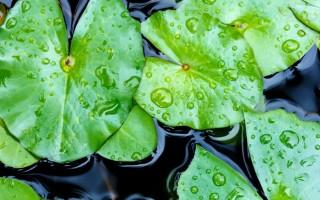 Листья лотоса для похудения – новые данные