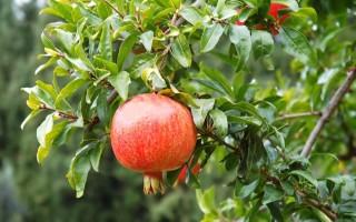 Листья граната: полезные свойства и рецепты лечения