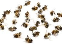 Пчелиный подмор: лечебная сила, свойства и противопоказания