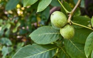 Полезные свойства листьев грецкого ореха, народные рецепты и противопоказания