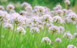 Лук слизун – полезные свойства и противопоказания поникающего лука