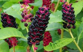 Лечебные свойства и противопоказания ягод и других частей лаконоса