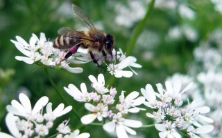 Полезные свойства и противопоказания кориандрового мёда