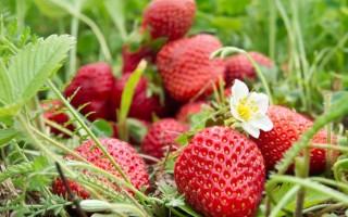 Полезные свойства клубники садовой и ее калорийность