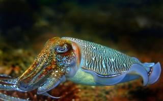 В чём польза каракатицы: мяса, чернил и кости?