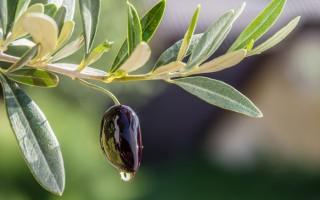 Листья оливы – польза и вред листочков оливкового дерева