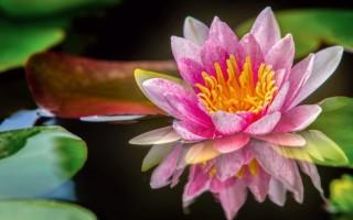 Полезные свойства цветков лотоса и секреты применения
