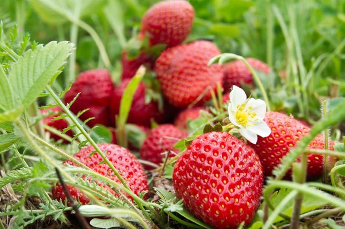 Садовая клубника: полезные свойства и состав виктории