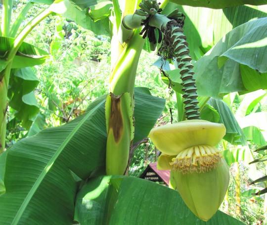 банановый цветок крупным планом