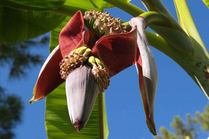 банановый цветок