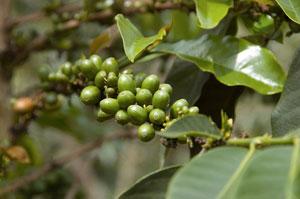свежий зеленый кофе