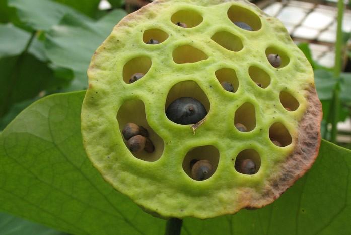 вызревшие семена лотоса