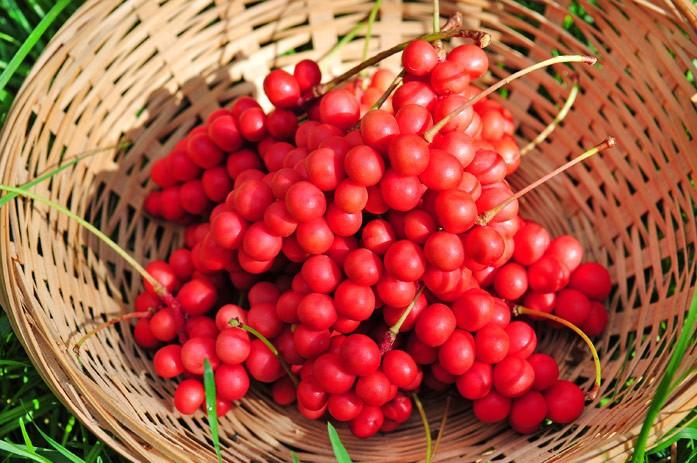 ягоды шизандры