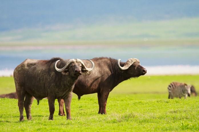 буйволы на пастбище
