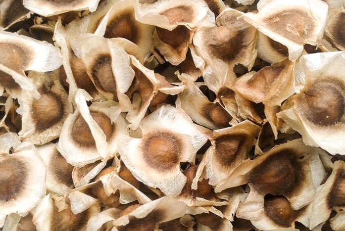 семена моринги