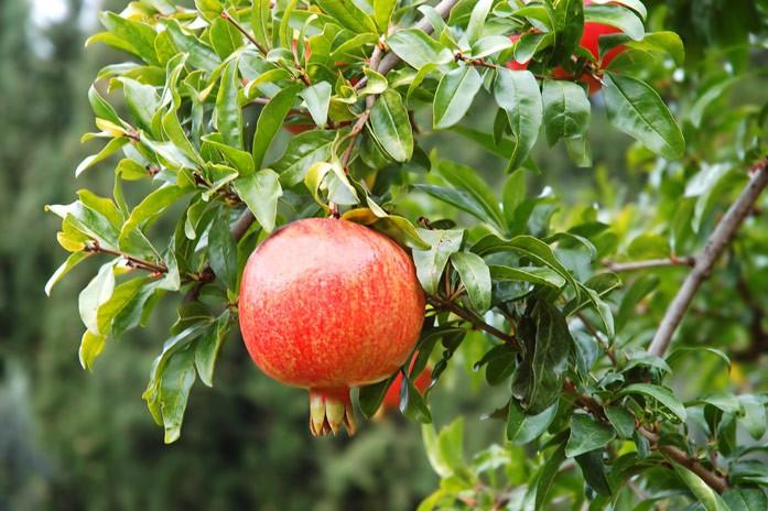 плод и листья граната