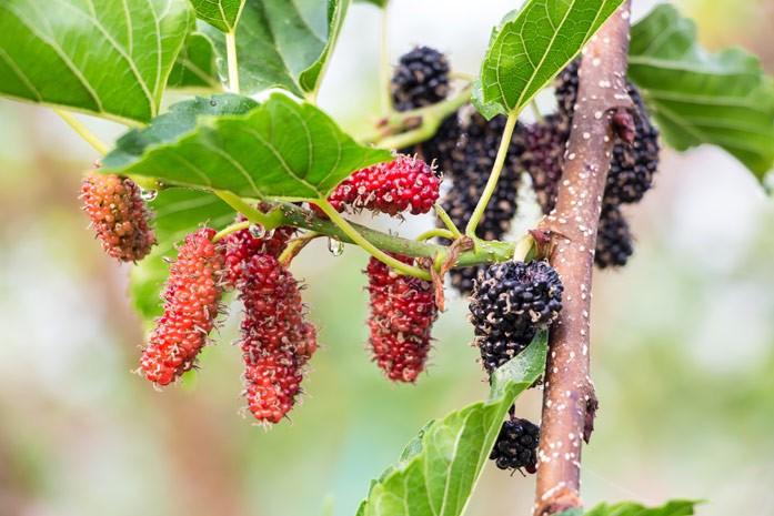 веточка тутового деревца с ягодами