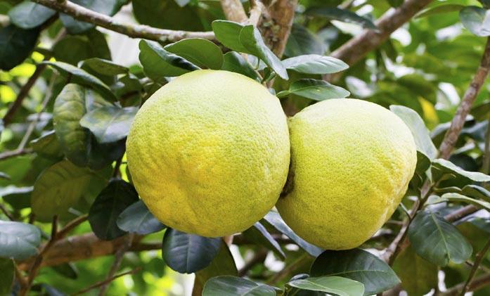 плоды памело на ветке