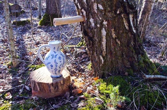 березовый сок в лесу