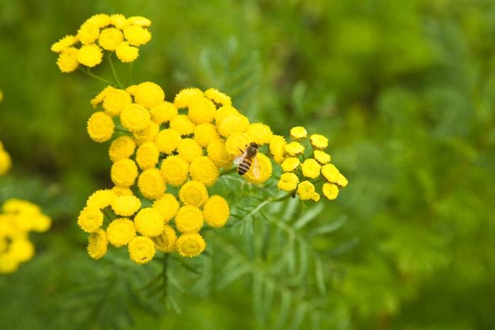 Пижма: полезные свойства и вред лекарственного растения