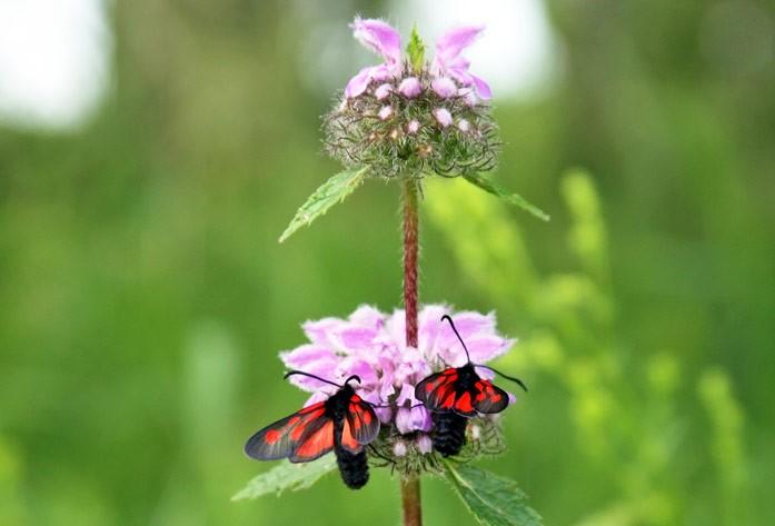 цветок железняка