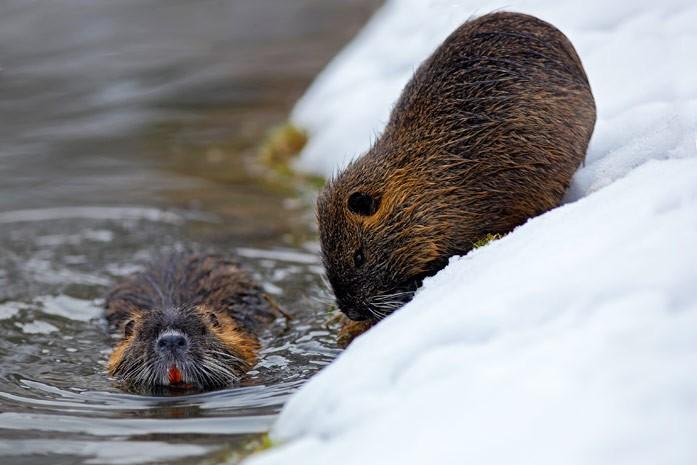 нутрии на зимнем водоёме